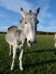 Randonnée avec un âne, l'adorable Pirouette